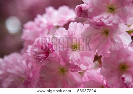 Sakura spring flowers. Spring blossom background. Beautiful nature scene with blooming sakura tree. Japanese garden.