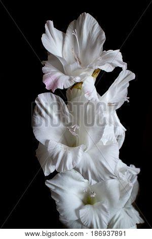 Image of white gladiolus flower on black background