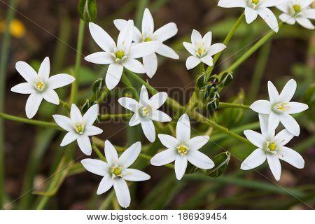 White Edelweiss Flower