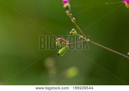 Plume Moth (pterophoridae) Caterpillar