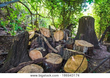 pile of old woods overgrown by loach Firewood on sawn wood in the woods
