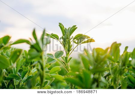Lucerne (medicago Sativa) Small Plants In Early Spring