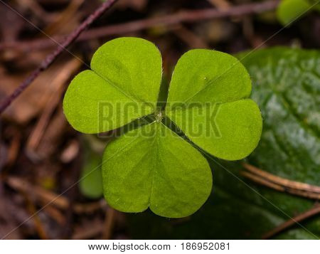 Common Wood Sorrel or Oxalis acetosella leaf macro selective focus shallow DOF.