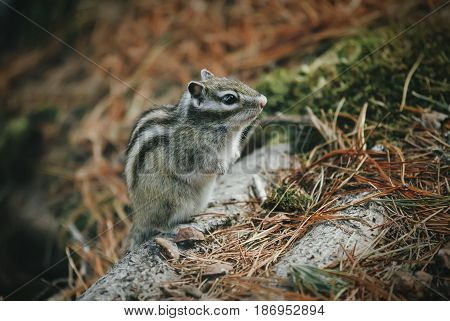 A little chipmunk standing and posing on a fallen tree on the forest
