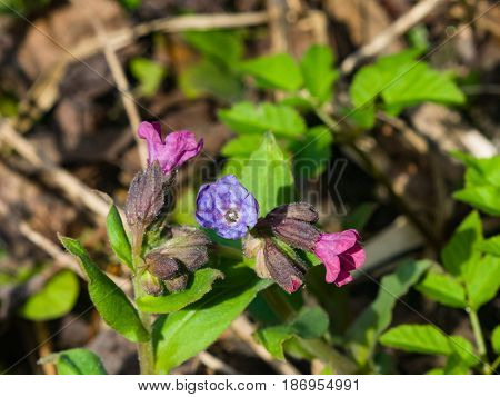 Pulmonaria or Lungwort with Pink and Purple flowers macro on bokeh background selective focus shallow DOF.
