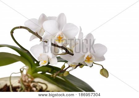 Close-up of white flowers orchid Phalaenopsis isolated on white background