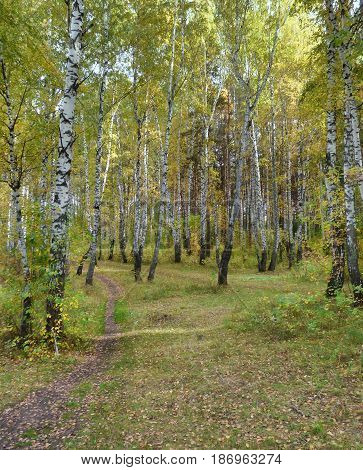 Path to the horizon in the autumn forest. Green and yellow trees on both sides, mainly birch. Lot of fallen leaves on the ground. Woodland scenery. Soft focus.