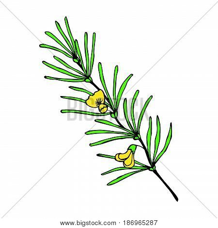 Rooibos tea plant leaf flower. Hand drawn ink sketch illustration in color lineart. African rooibos tea hot drink. Herbal tea. Isolated on white background.