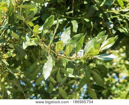 Laurel shrub or bay tree. Blue sky on the background.