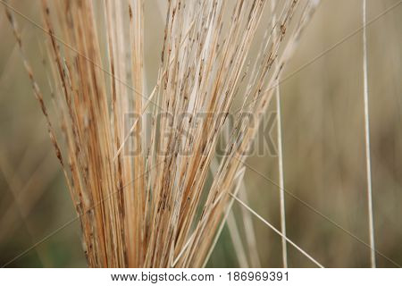Defocused Reed Straw Stack Background Texture Agriculture Natural Abstract Striped Background, Weave, Twisted Twigs, Dried Stalks Yellow Cane Closeup Texture of the Dry Reeds Dry grass