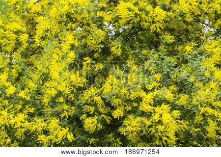 Yellow flowers of acacia dealbata silver blue wattle mimosa tree in full bloom.
