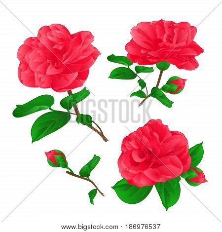 Three Flowers Camellia Japonica with buds vintage hand draw vector illustration