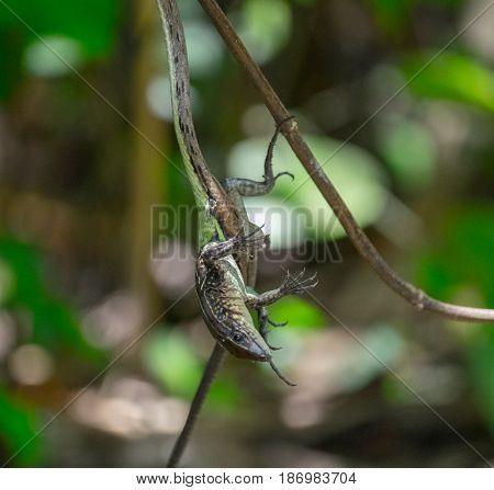 Vine Snake (Oxybelis aeneus) with its lizard prey. Image has high level of noise