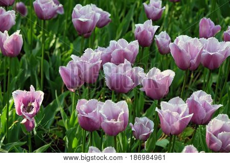 Fringed lilac tulips in the Royal Keukenhof Park