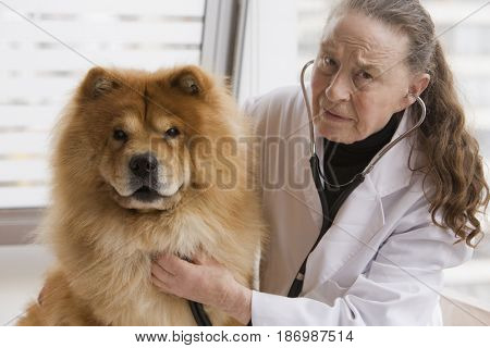 Chilean veterinarian giving dog a checkup