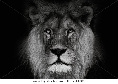 Portrait lion with black and white colour. Face lion. Lion look at the camera.