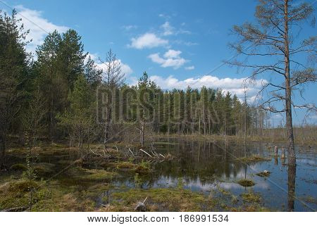 Bog and forest near Peno town Tver oblast Russia