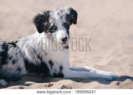 Adorable Cute Blue Merle Border Collie Puppy on the beach lying and and looking at the camera