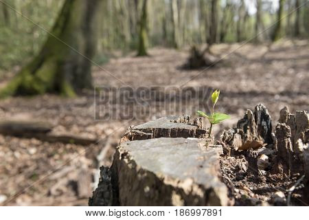 Old tree stump with a shooting new plant