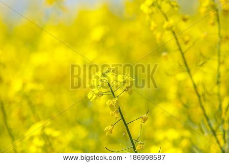 Flowers of the oilseed rape plant ,natural background