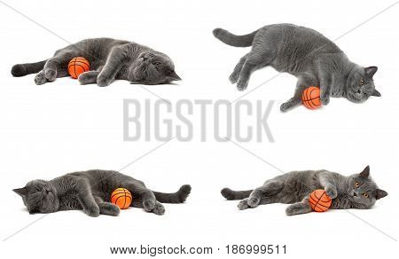 gray cat (breed scottish-straight) with a ball on a white background. horizontal photo.