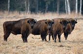 A herd of aurochs grazing on the field.Four large brown bison on the forest background.Four bulls with big horns on the background of the forest.Bestial gang. Belarus, Bialowieza Forest Reserve.Poland poster