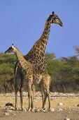 Pair of giraffes - the shot was taken in Etosha Park Namibia. poster