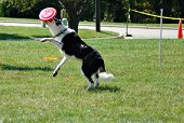 Dog catching a while jumping midair poster