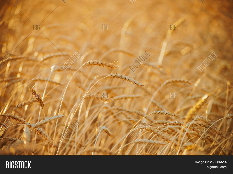 Field Gold Wheat Image & Photo (Free Trial) | Bigstock