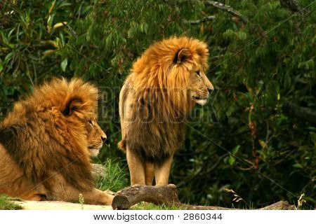 Two Lions Await Food