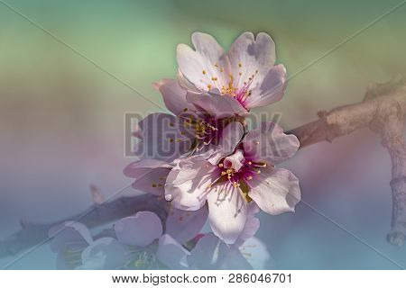 Branch Of Almond Tree In Bloom. White And Pink Delicate Flowers. Natural Background