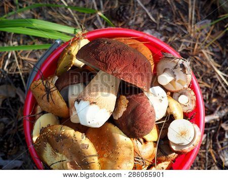 Wild Organic Edible Mushrooms In Bucket. Bolete, Boletus, Cep, Cepe Porcini