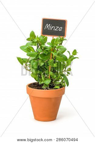Mint In A Clay Pot With A German Label Minze
