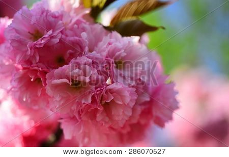 Cherry Blossom. Sacura Cherry-tree. Branches Of Blossoming Apricot Macro With Soft Focus On Sky Back