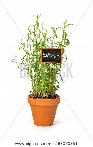 Tarragon In A Clay Pot With A German Label Estragon