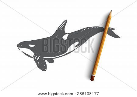Killer Whale, Sea, Underwater, Wildlife, Nature Concept. Hand Drawn Danger Killer Whale In The Ocean