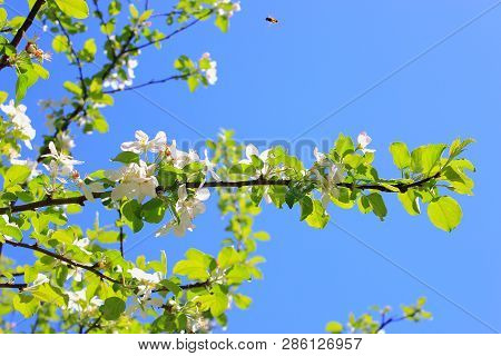 Blooming Apple trees. Apple tree branch. Apple trees bloom against the sky. Pink flowers Apple trees bloom. White blooming Apple tree. Twig of Apple tree with white flowers
