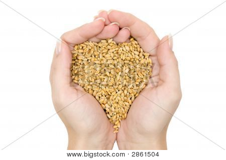 Fistful Of Wheat Grains