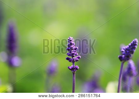Lavender Flower On The Garden At Flower Show