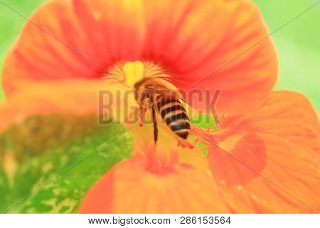Close Up Photo Of A Western Honey Bee