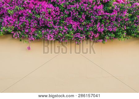 Pink wall covered with purple Bougainvillea tree flowers. Floral background. Typical Mediterranian street exterior. Botanical garden. Scenic image of flowering orchard in spring time. Beauty of earth.