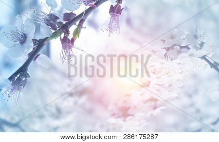 Spring Abstract Floral Background. Spring Flowering Of Apple, Cherry.