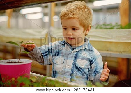 Boy Planting Seeds. Little Boy Planting Seeds In Greenhouse. Boy Planting Seeds To Grow A Tree. Boy