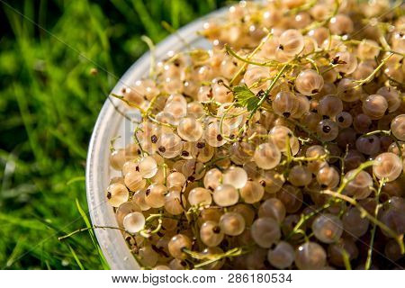 Close Up Bowl Full Of Fresh White Currant Berries On Green Grass. Summer White Currants In White Bow