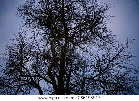 View From Below Of Gingko Tree Against Blue Dusk Sky Background Winter Dusk