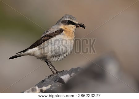Northern Wheatear - Oenanthe Oenanthe With The Moth During Its Chicks Feeding