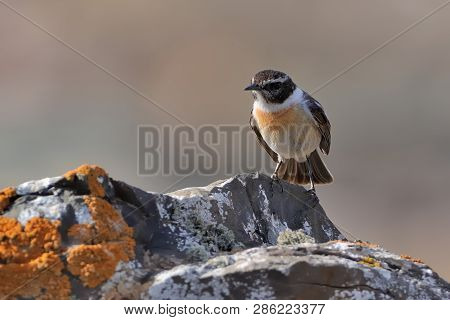 Canary Island Stonechat (saxicola Dacotiae), Endemitic Species Of Canary Islands, Sitting On The Bra