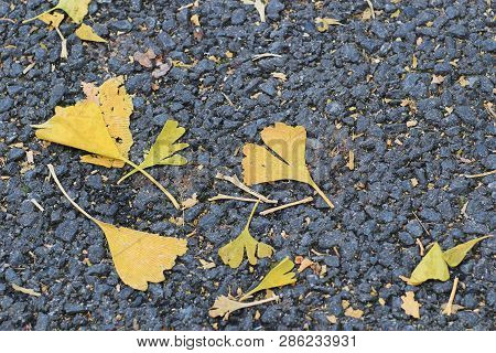 The Ginkgo Biloba Leaf Litter At Fall Season