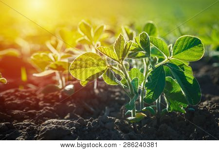 Glycine Max, Soybean, Soya Bean Sprout Growing Soybeans On An Industrial Scale. Products For Vegetar