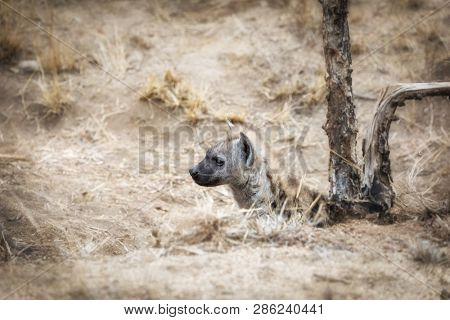 Young spotted hyena emerges from the den in Kruger National Park, South Africa.